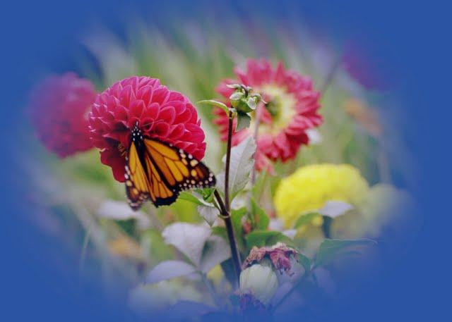 Monarch on Dalhia 001 A